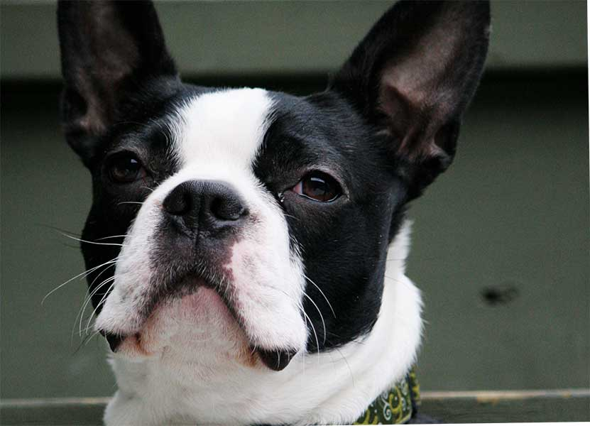 adoptar boston terrier