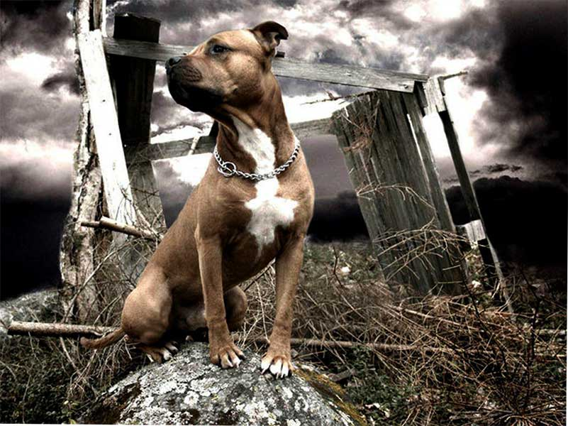 american staffordshire terrier barcelona