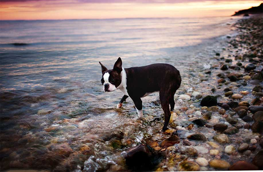 boston bull terrier