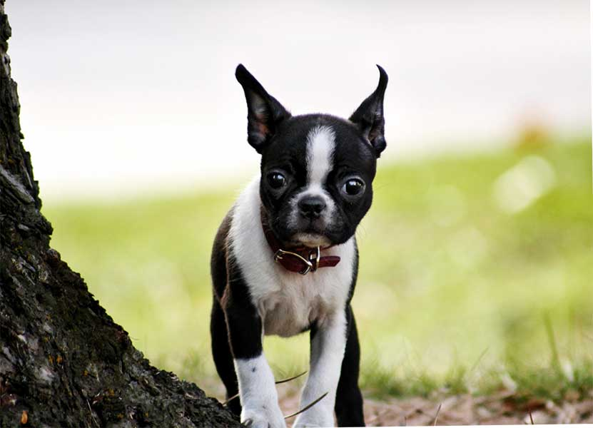 boston terrier adopcion