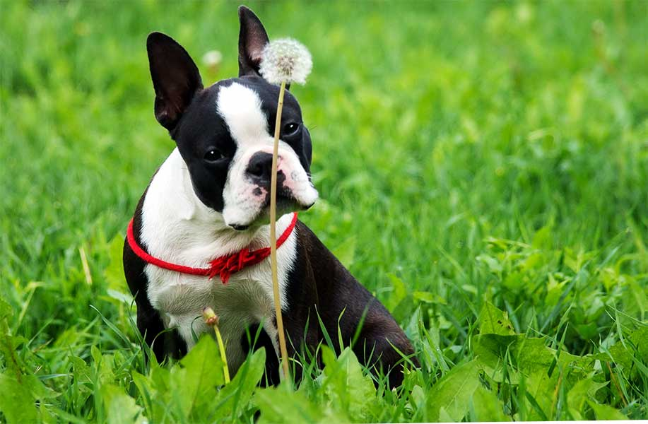 boston terrier bulldog francês