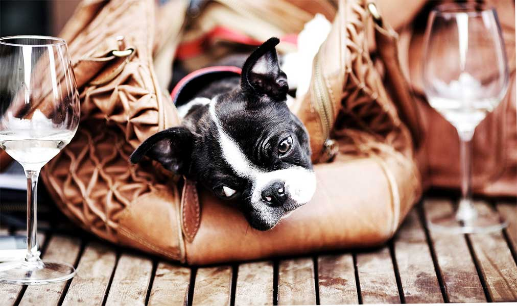 boston terrier cachorros
