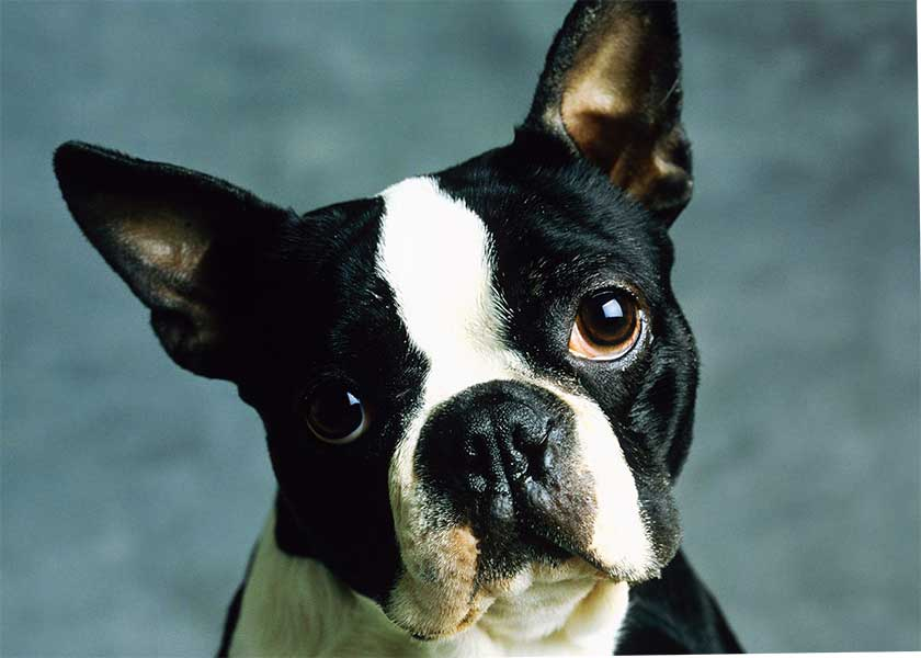 boston terrier caracteristicas