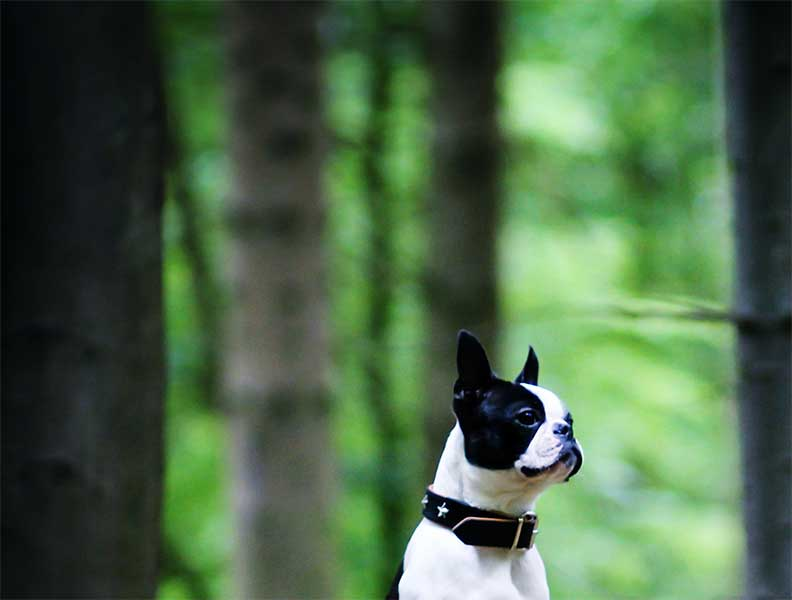 boston terrier criadores
