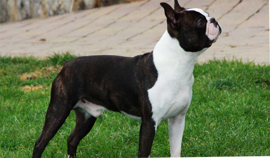 boston terrier gratis