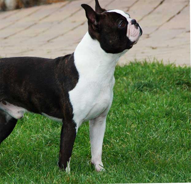 boston terrier madrid