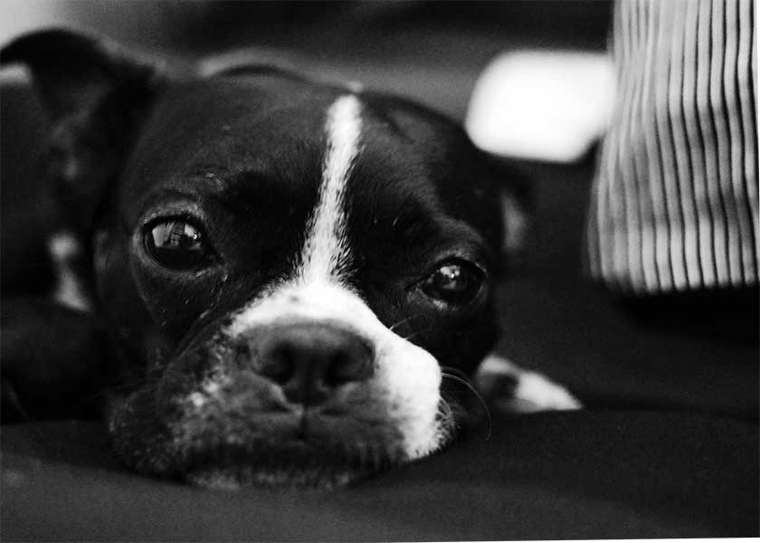 boston terrier toy