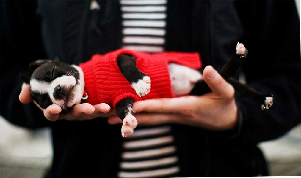 boston terrier venta