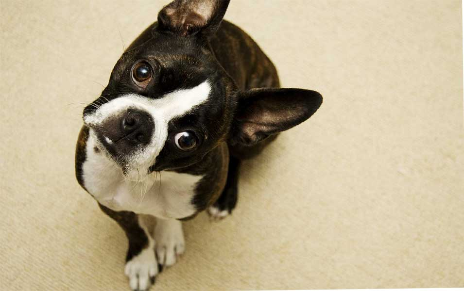 bulldog frances o boston terrier