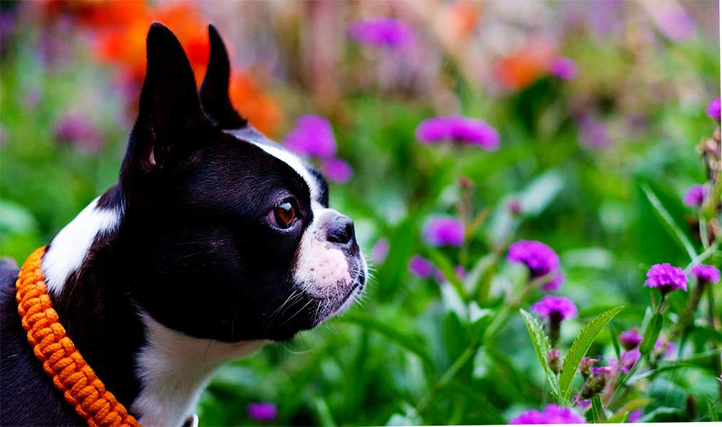 cachorro boston terrier 1