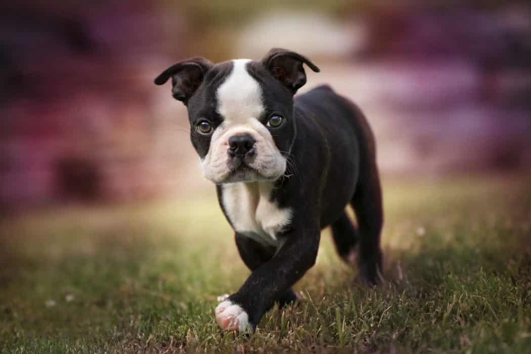 cachorro boston terrier scaled