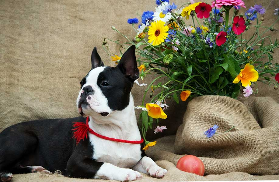 comprar boston terrier madrid