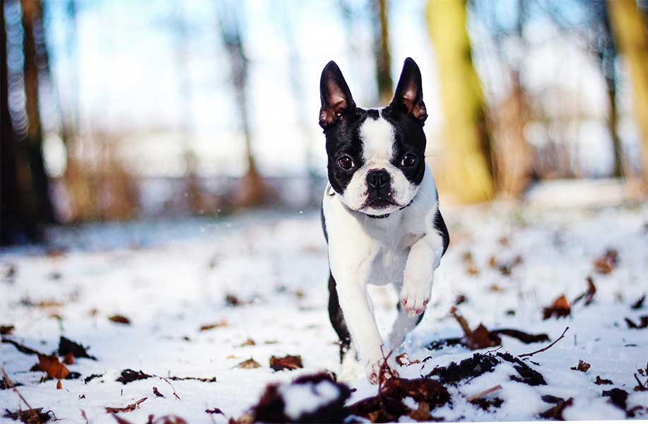 comprar boston terrier