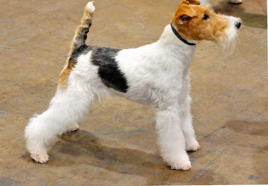 comprar fox terrier