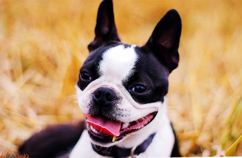 criadero boston terrier