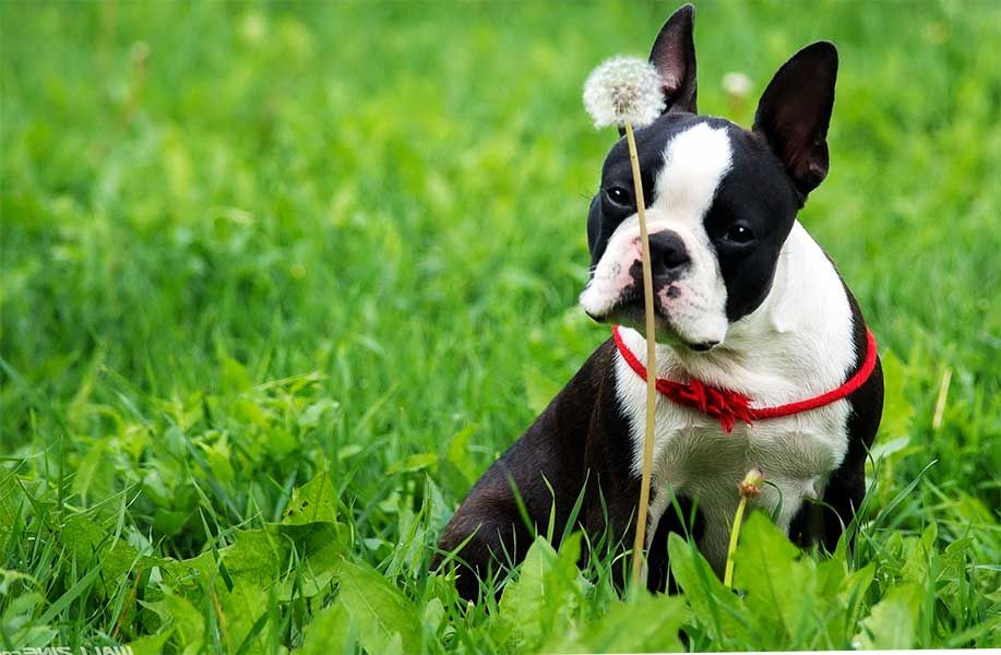 el boston terrier 1
