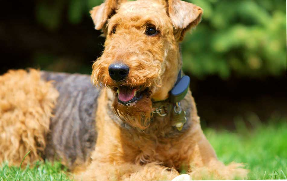 fox terrier adopcion