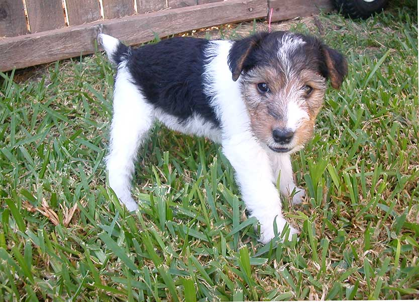 fox terrier caracter