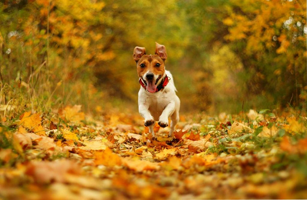 jack russell 1