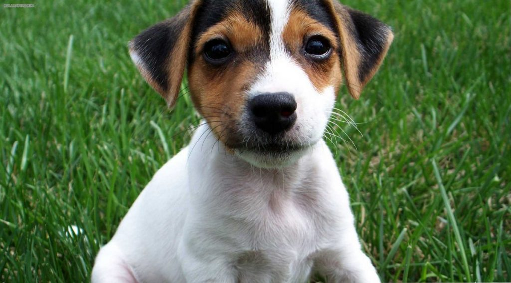 jack russell terrier caracteristicas