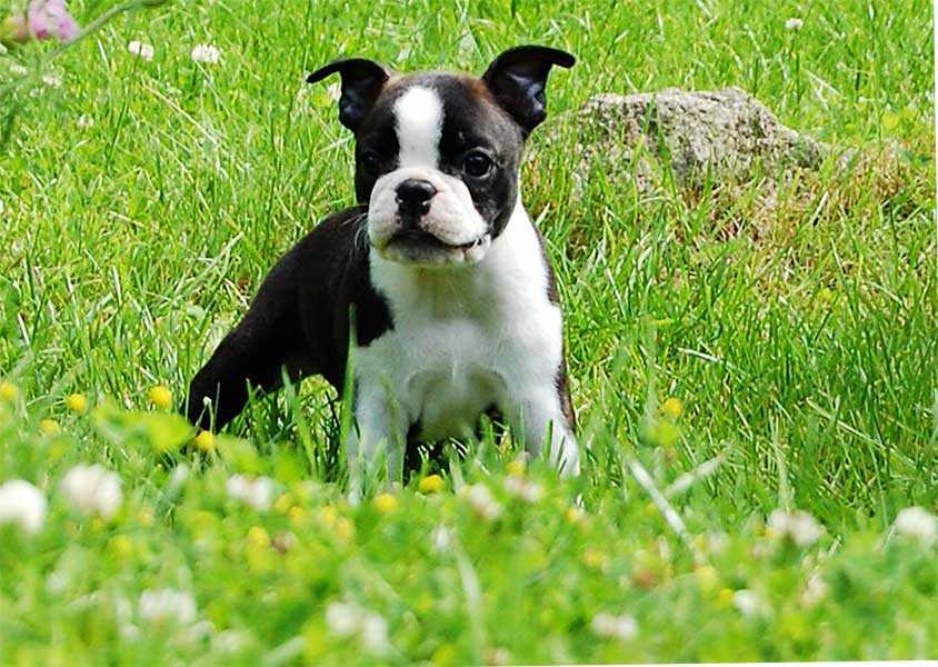 milanuncios boston terrier