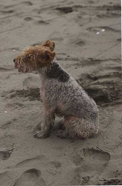 regalo fox terrier