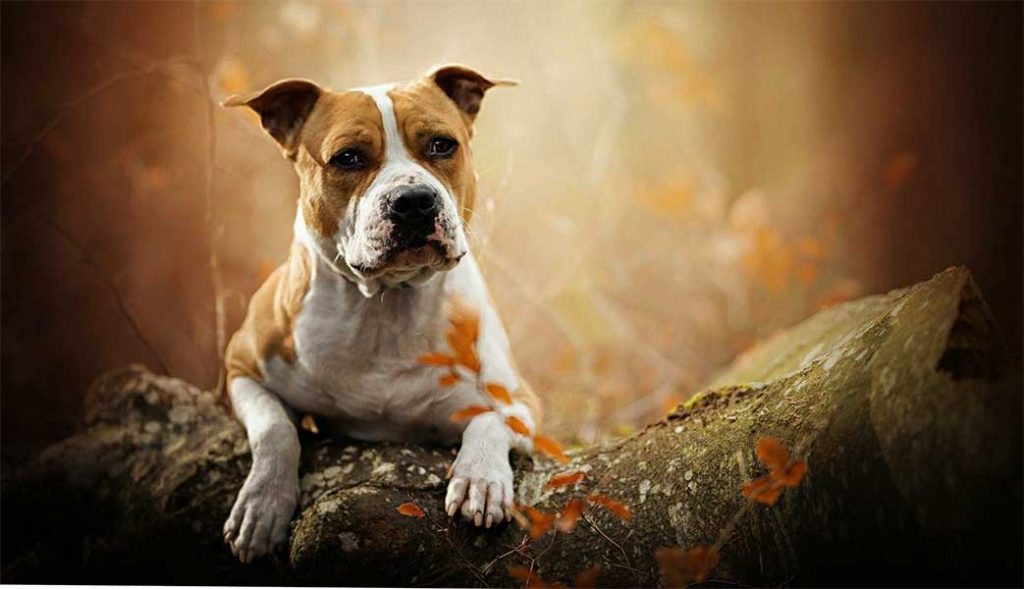 staffordshire bull terrier y american stanford