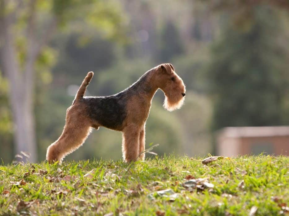 AIREDALE TERRIER AIREDALE e1595524799457
