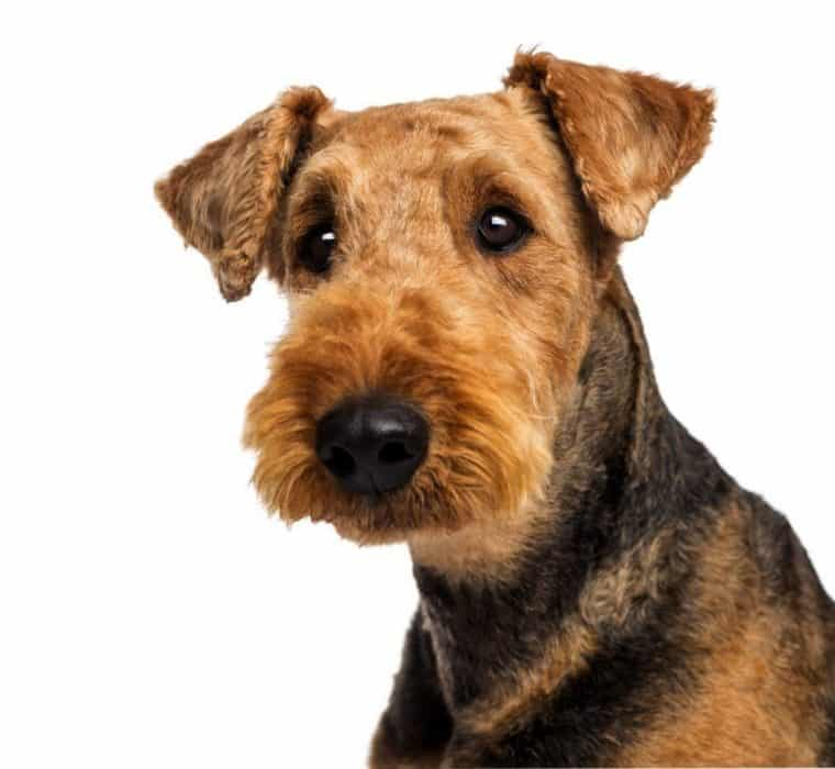 airedale fox terrier