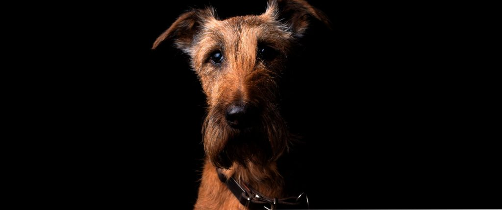 airedale terrier at home