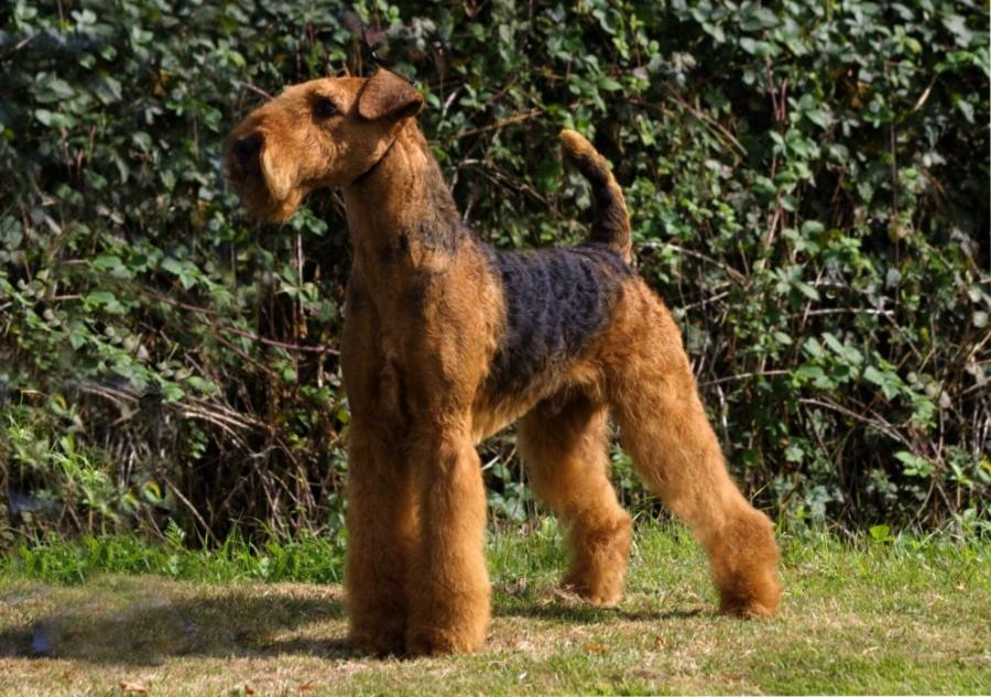 airedale terrier attack