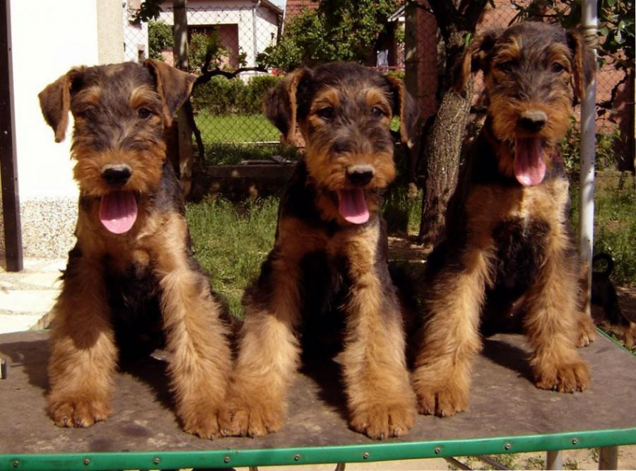 airedale terrier barcelona