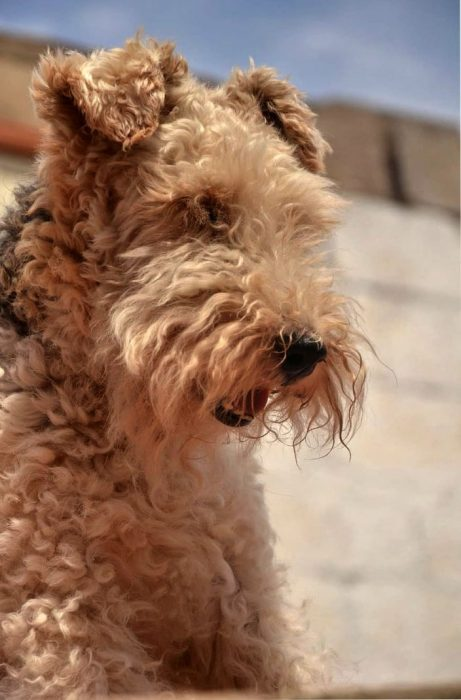 airedale terrier blanco