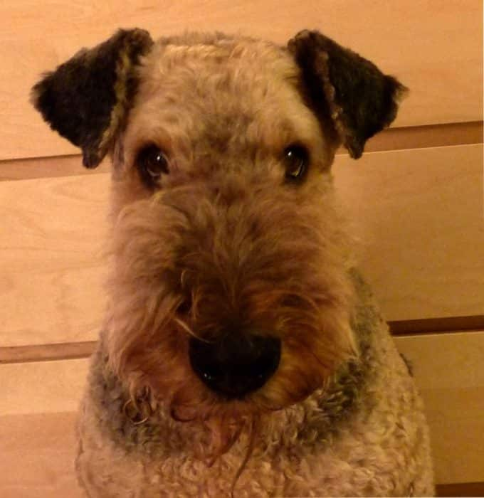 airedale terrier chasse sanglier