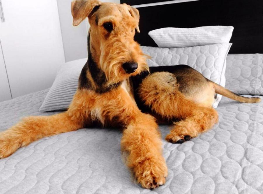 airedale terrier criadero