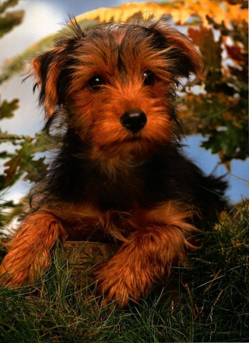 airedale terrier fci