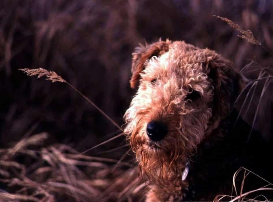 airedale terrier gigante