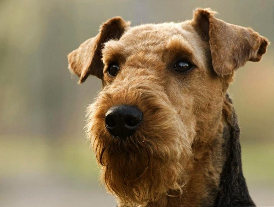 airedale terrier morfologia