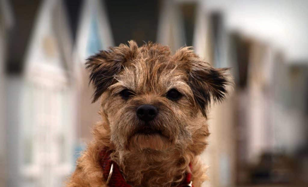 border terrier 5 months old