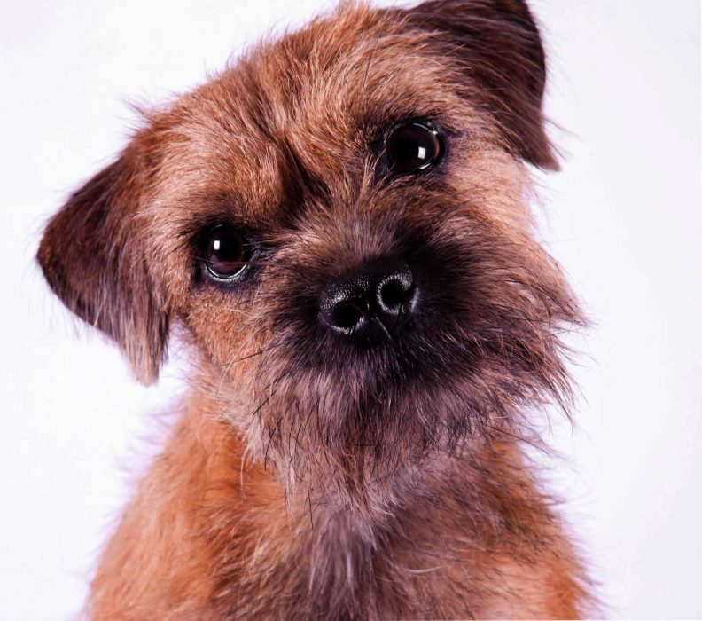 border terrier blanco