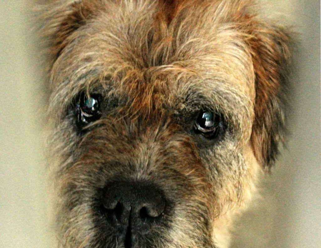 border terrier kink in tail