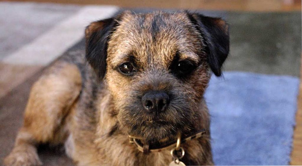 border terrier madrid