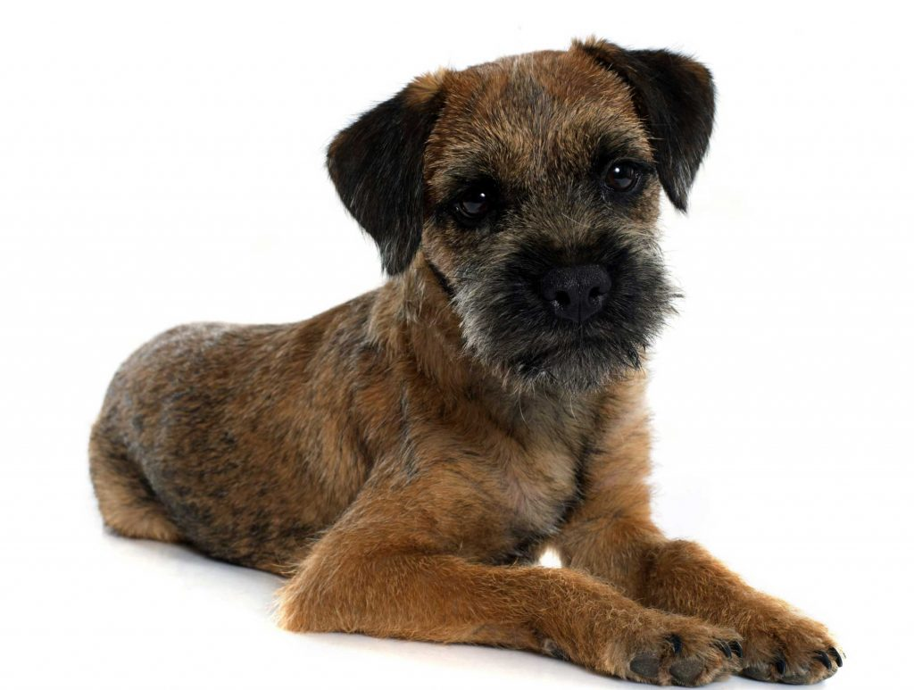border terrier tattoo