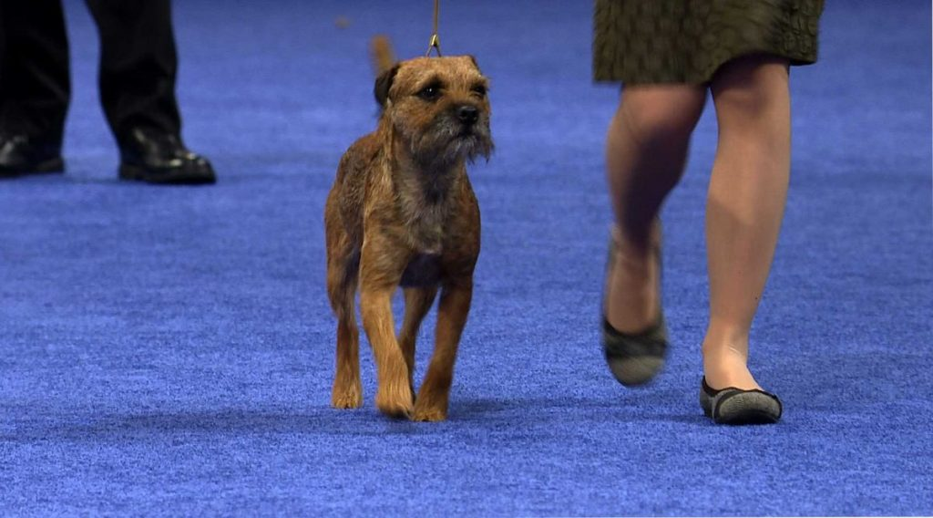 border terrier video clips