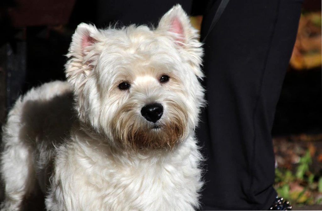 caracteristicas del west highland white terrier