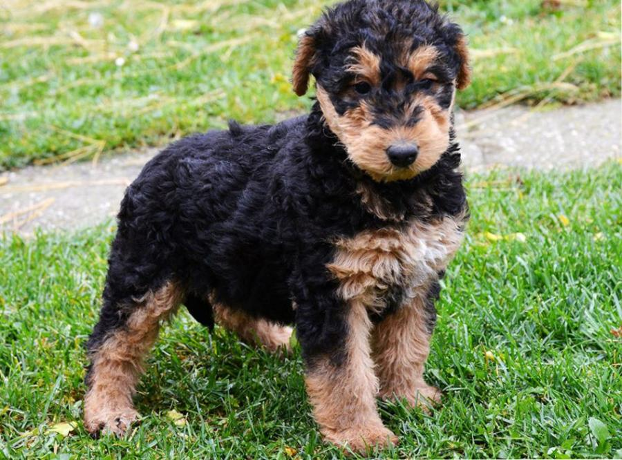 caza con airedale terrier