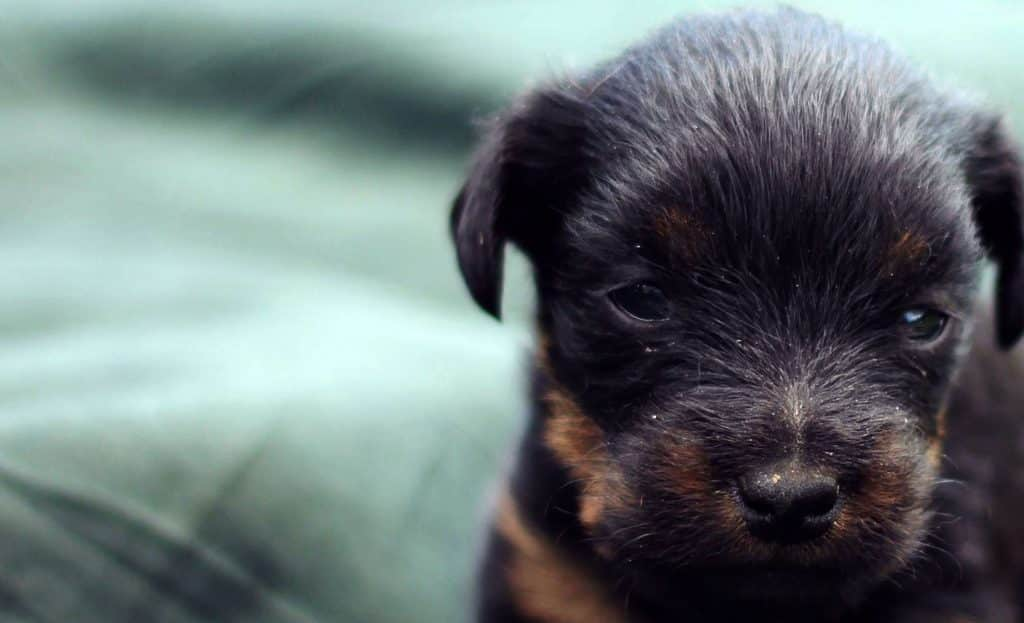 milanuncios jagd terrier chocolate