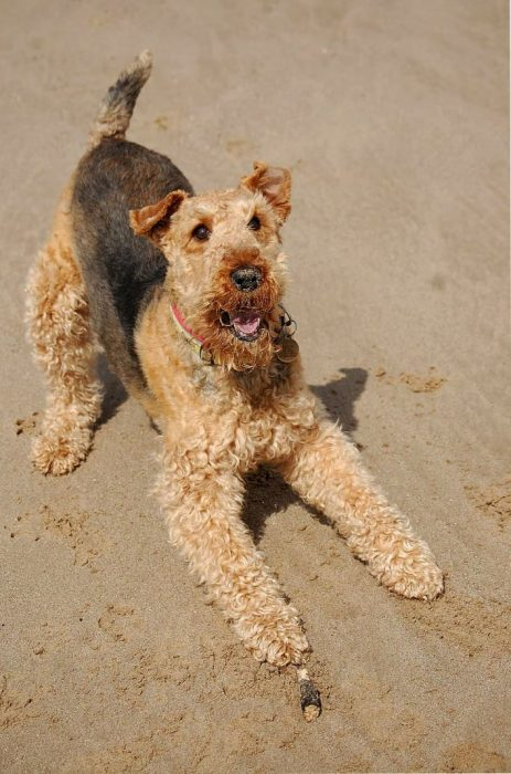 perros airedale terrier