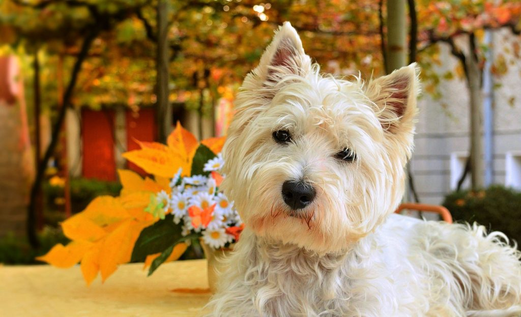 perros west highland white terrier venta