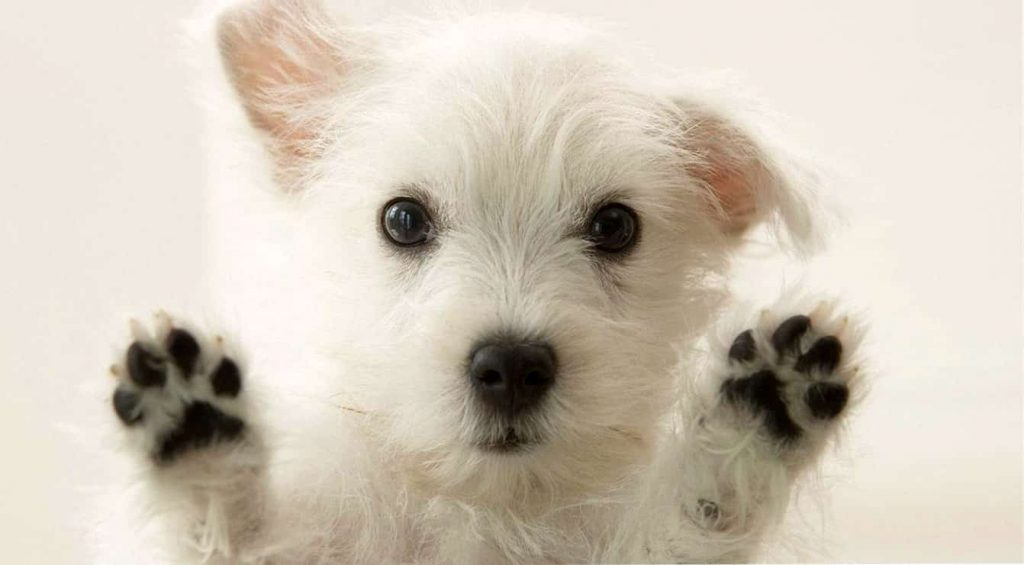 regalo cachorros west highland white terrier